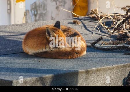 Red fox enjoys winter sun in the garden, London UK - Stock Photo