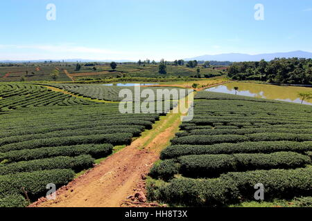 Path in the tea plantation blue sky background - Stock Photo