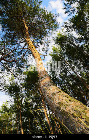 Trunk of the Scots or Scotch pine (Pinus sylvestris) tree growing in the evergreen coniferous forest. Wide angle - Stock Photo