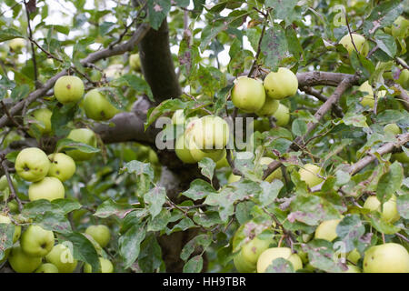 'Malus domestica Golden Delicious' growing in an English orchard. - Stock Photo