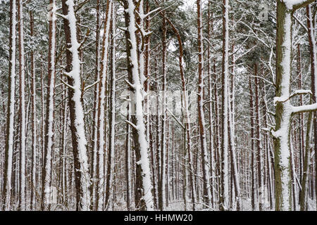Snowy tree trunks in a pine tree forest after the snow storm - Stock Photo