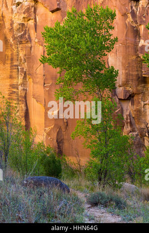 A cottonwood tree against a sandstone cliff in the Escalante River Canyon. Grand Staircase-Escalante National Monument, - Stock Photo