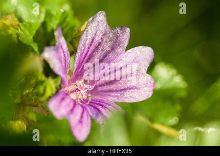 wild, purple, mallow, medicinal plant, plant, nature, macro, close-up, macro - Stock Photo