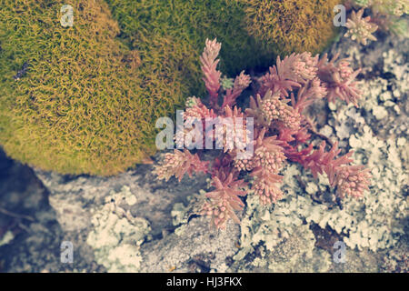 red stonecrop on the stone in nature, note shallow depth of field - Stock Photo