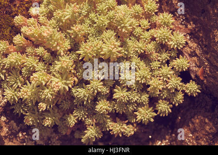 a variety of stonecrop on the stone in nature, note shallow depth of field - Stock Photo