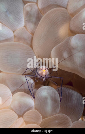 Underwater close-up photo of the transparent commensal ink shrimp Vir philippinensis on the bubble coral Plerogyra - Stock Photo