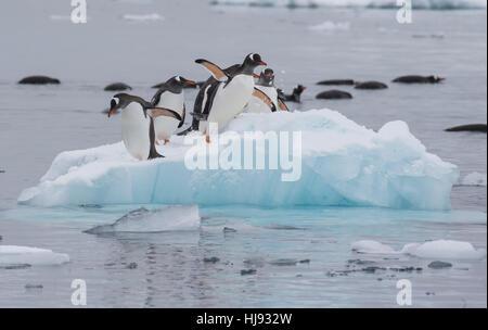 Gentoo Penguins walk on the ice - Stock Photo