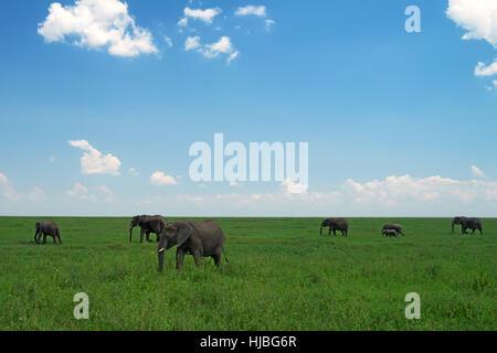 Group of African elephants in savanna - Stock Photo
