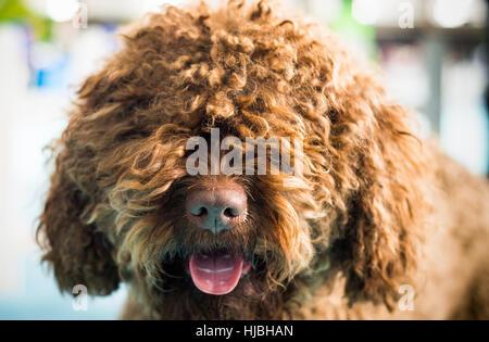 Barbet dog looking at camera. Brown French Water Dog. - Stock Photo