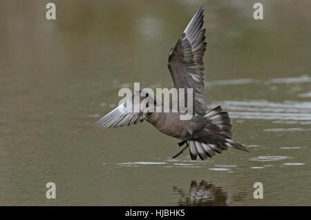 Arctic skua (Stercorarius parasiticus) dark morph adult in flight over loch. Shetland Isles. June. - Stock Photo