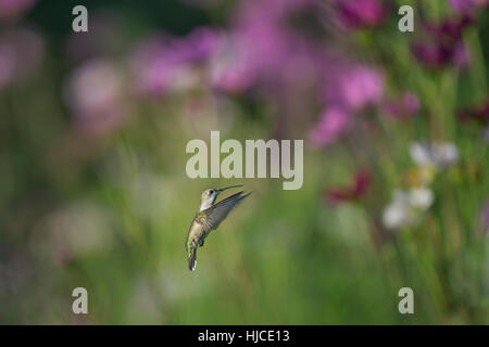 A Ruby-throated Hummingbird hovers in space in front of a colorful background pink, white and red flowers on a sunny - Stock Photo