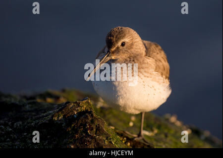 A Dunlin stands on a seaweed covered rock at first light on a sunny morning. - Stock Photo
