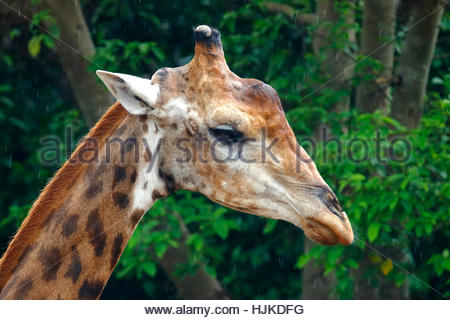 Giraffe head Close up zoo in thailand - Stock Photo