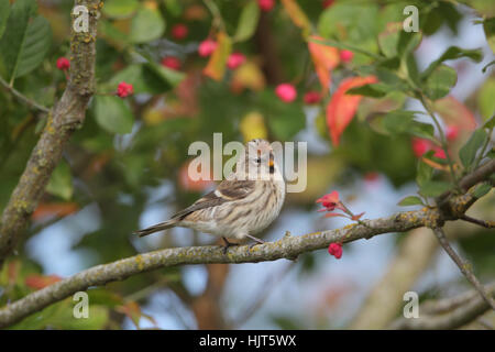 Common or Mealy Redpoll (Acanthis flammea) perched on a branch in a tree with red berries, while on migration - Stock Photo