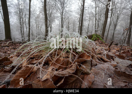 Hoarfrost, ice crystals on grass and leaves in forest, Baden-Württemberg, Germany - Stock Photo