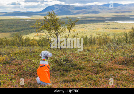 Setter sitting on mountain with bearing equipment waiting for command, Kiruna, Swedish Lapland, Sweden - Stock Photo