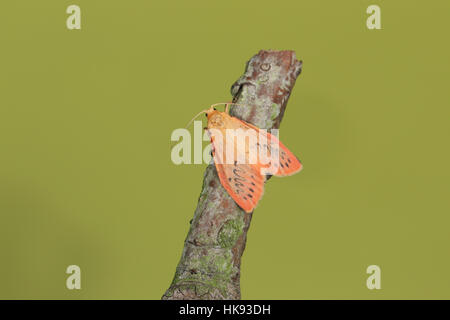 Rosy Footman (Miltochrista miniata), an orange-pink moth with black spots, perched on a twig against a clean green - Stock Photo