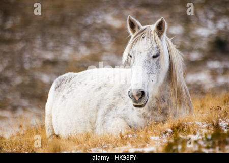Wild white mustang horse, resting in a snowy field - Stock Photo