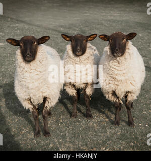 Three inquisitive sheep looking at camera. Eyes staring. Monochromatic image. Taken in Peak District, Derbyshire, - Stock Photo