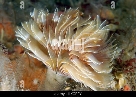 Tube worm - Bispira volutacornis - Stock Photo