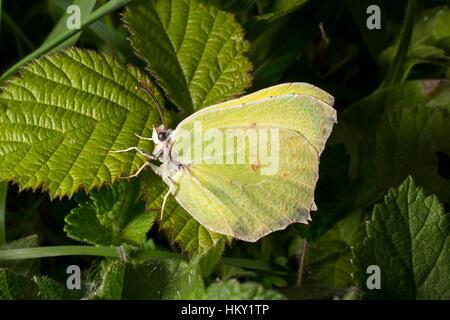 Yellow Brimstone butterfly, Gonepteryx rhamni, sitting on bramble leaf - Stock Photo