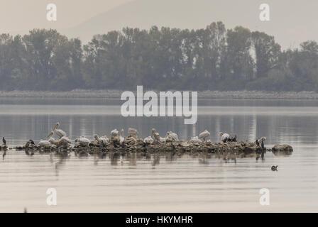 Dalmatian Pelicans and Cormorants on nesting island, Lake Kerkini, Greece, - Stock Photo