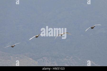 Family group of Bewick's swan,  Cygnus columbianus, in flight on migration at Lake Kerkini, Greece, - Stock Photo