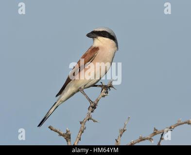 Red-backed Shrike - Lanius collurio - Stock Photo