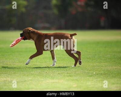 dog, boxer, frisbee, Park - Stock Photo