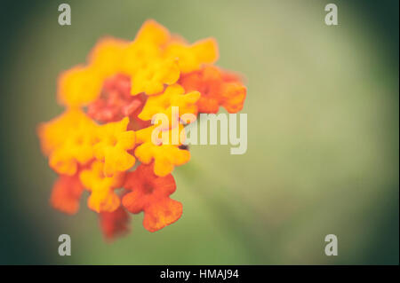 closeup of flowers (kaas-valley of flowers, SATARA) - Stock Photo