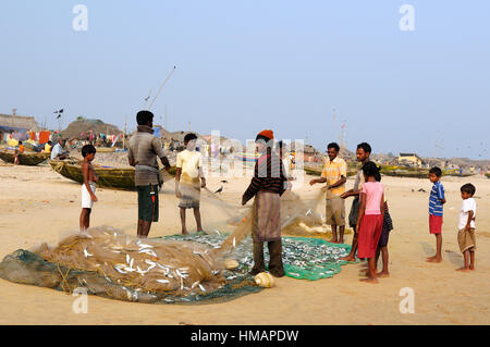 PURI, INDIA - DECEMBER 19: Fishermen from the eastern coast of India are emptying a fishing net of fish on the beach - Stock Photo