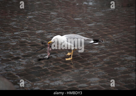 A seagull eating a pigeon - Stock Photo