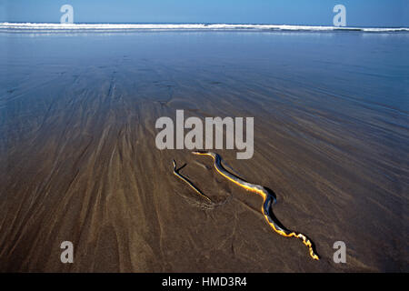 Yellow-bellied Sea Snakes (Pelamis platurus) - mother and young. The mother was washed up on the beach and then - Stock Photo