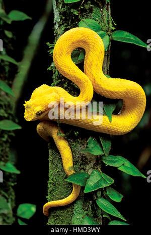 Eyelash viper (Bothriechis schlegelii) resting on rainforest trunk, Cahuita National Park, Costa Rica - Stock Photo