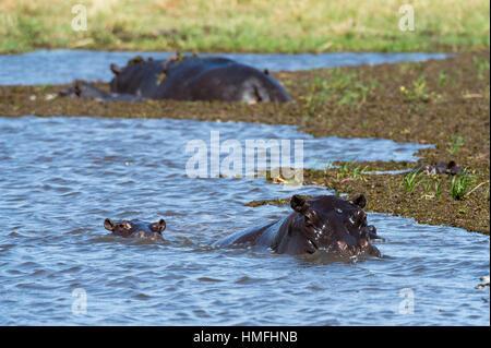 Hippopotamus (Hippopotamus amphibius) in the River Khwai, Khwai Concession, Okavango Delta, Botswana - Stock Photo