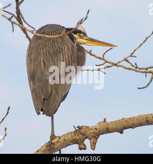 Birds, Great Blue Heron perched on a tree limb in the winter. Idaho, USA - Stock Photo
