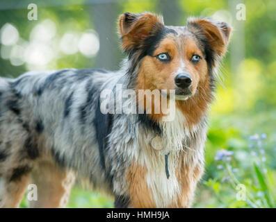Gorgeous Australian Shepherd Shepard Aussie tri-color dog posed outside 3/4 - Stock Photo