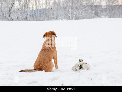 Handsome mixed breed red brown dog from the back sitting with stuffed animal looking out over snowy scenery - Stock Photo