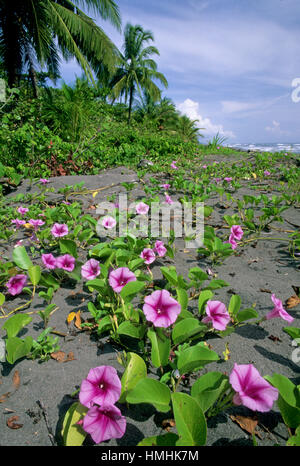 Beach Morning Glory flowers (Ipomoea pes-caprae). Early morning in Tortuguero National Park, Caribbean coast, Costa - Stock Photo