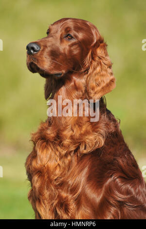 irish setter dog - Stock Photo
