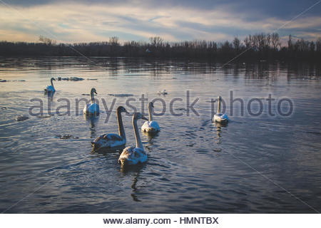 Swans are birds of the family Anatidae within the genus Cygnus. The swans' close relatives include the geese and - Stock Photo
