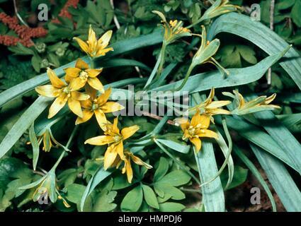 Star of Bethlehem (Gagea fistulosa), Liliaceae. - Stock Photo