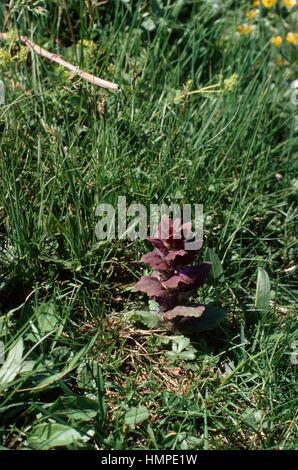 Pyramidal Bugle (Ajuga pyramidalis), Lamiaceae. - Stock Photo