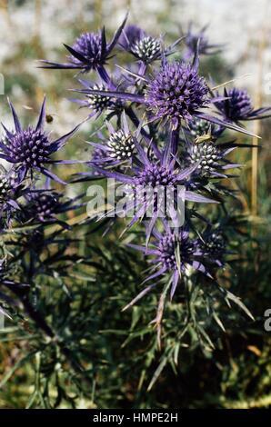 Queen of the Alps or Alpine sea holly (Eryngium alpinum), Apiaceae. - Stock Photo