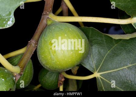 Common Fig syconium (Ficus carica), Moraceae. - Stock Photo