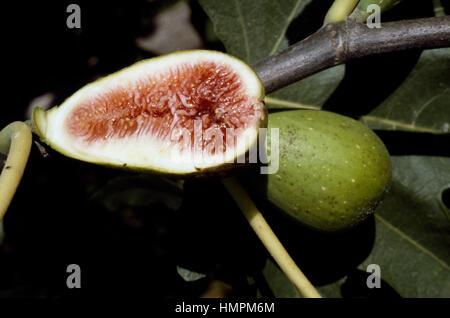 Syconium of the Common fig (Ficus carica), Moraceae. - Stock Photo
