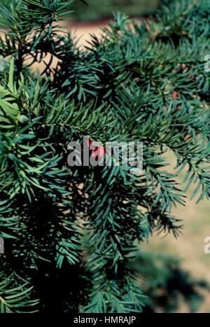 Common Yew Repandens leaves (Taxus baccata Repandens), Tassaceae. - Stock Photo