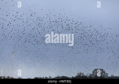Starlings, Sturnus vulgaris, in huge flocks coming in to roost, evening at Ham Wall, Somerset Levels. - Stock Photo