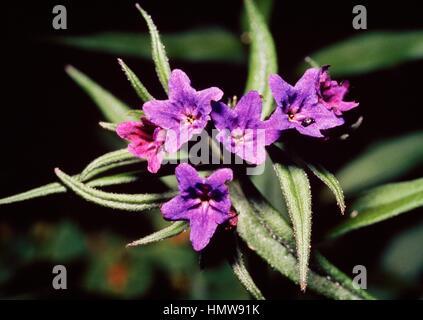 Narrow-leaved lungwort, blue cowslip (Pulmonaria angustifolia), Boraginaceae. - Stock Photo