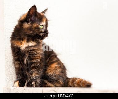 European young. cat. Tortoiseshell or calico cat - Stock Photo